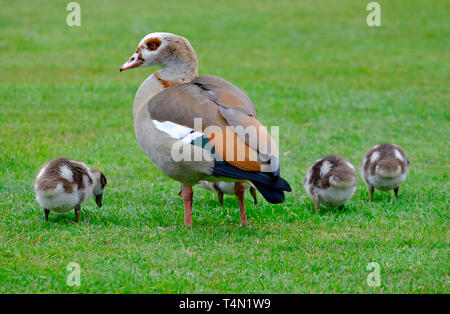 Egyptian goose femelle avec de jeunes oisons, blickling, Norfolk, Angleterre Photo Stock