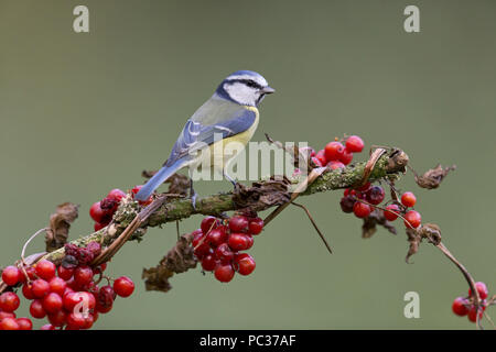 Mésange bleue (Cyanistes caeruleus) adulte, perché avec Black Bryony (Tamus communis), baies, Suffolk, Angleterre, Royaume-Uni, octobre Photo Stock