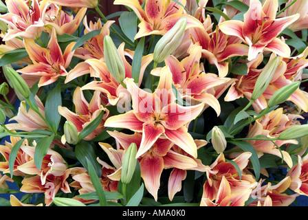 Lily orange rouge fleur jardin plante genre frontière variété chef bud bunch England UK Royaume-Uni GB Grande-bretagne EU Photo Stock