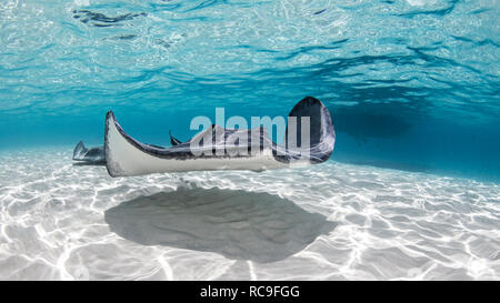 Stingray Sud, îles Caïmanes, îles Cayman Palms Photo Stock
