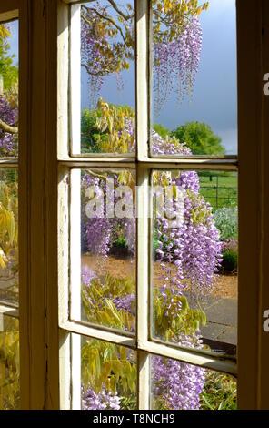 La floraison des fleurs de glycine vue à travers la fenêtre de la chambre, Norfolk, Angleterre Photo Stock