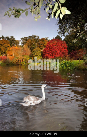 Swan capturés sur le lac à Mount Stewart, l'Irlande du Nord. Photo Stock