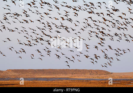 La bernache cravant en vol, d'atterrissage, les marais le claj claj-next-the-Sea, North Norfolk, Angleterre Photo Stock