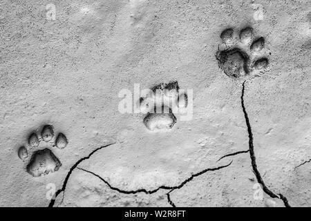 Trois empreintes de lion, Panthera leo, paw tracks dans la boue molle. Photo Stock