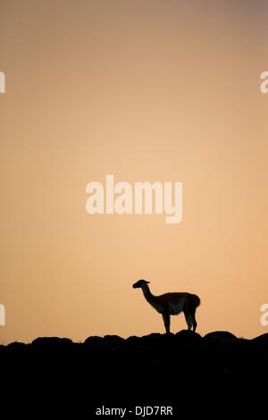 Le guanaco (Lama guanicoe) silhouette debout sur la colline.Patagonie.Chili Photo Stock