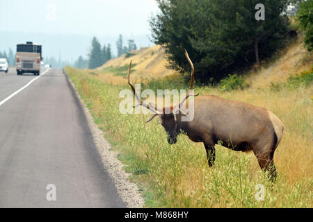 Wapitis sauvages à côté d'une route très fréquentée dans le parc national Jasper, Photo Stock