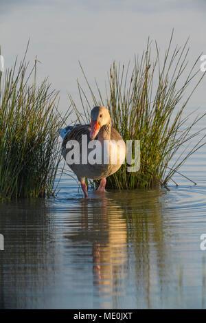 Oie cendrée (Anser anser) debout à côté de roseaux dans le lac de Neusiedl en Burgenland, Autriche Photo Stock