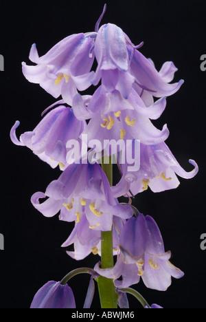 Blue Bell hyacinthoides bluebell à têtes multiples au début du printemps d'abord fermer jusqu'atmospheric moody classic Photo Stock