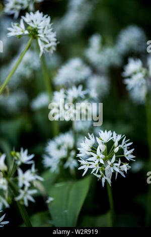 Close up de délicates fleurs blanches d'un plant d'ail blanc. Photo Stock