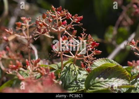 Maturation des fruits rouges de Japenese snowball bush, Viburnum plicatum, sur le feuillage vert de ce jardin arbuste, Berkshire, Juillet Photo Stock