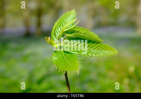 Printemps vert feuilles d'orme du dépliage, Norfolk, Angleterre Photo Stock