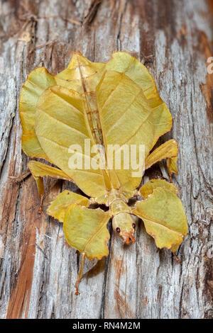 Les feuilles, en Asie du sud-est Photo Stock