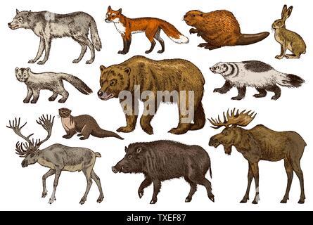 Ensemble d'animaux sauvages. Forêt de l'ours grizzli brun rouge du nord de l'orignal Fox Sanglier Blaireau Lièvre gris sable Loup Loutre de rivière de Rennes. Vintage mammifère monochrome Photo Stock