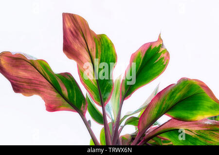 Multi colored close up de ti les feuilles des plantes. Mauai, New York Photo Stock
