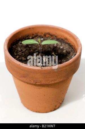 Des semis de tomates dans un pot de terre cuite Photo Stock