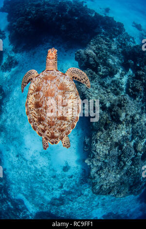 Tortue de mer verte, Cozumel, Quintana Roo, Mexique Photo Stock