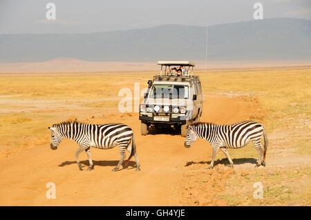 Zoologie / animaux, des Mammifères (Mammalia), le zèbre (Equus quagga), deux zèbres crossing road, Photo Stock