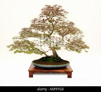 L'érable du Japon Acer palmatum Deshojo bonsai style vertical informel chinois bonzai japonais Chine Japon Moyen-orient oriental de l'ori Photo Stock
