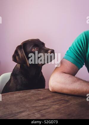 Jeune chien est assis à la table, patiemment et attentivement regarder son propriétaire. Photo Stock