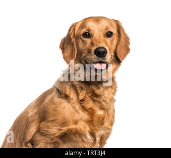 Golden Retriever , 10 mois, looking at camera against white background Photo Stock