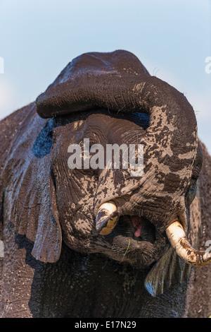 L'éléphant africain (Loxodonta africana) jeune éléphant couvert de boue.Le Parc national Amboseli au Kenya. Photo Stock