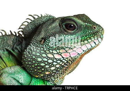 De l'eau chinois , dragon Physignathus cocincinus, est une espèce de dragon contre fond blanc Photo Stock