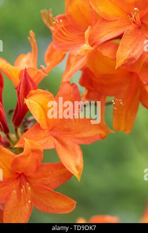 Rhododendron 'Golden sunset' la floraison au printemps. UK Photo Stock