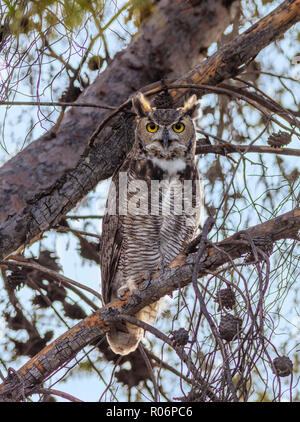 Grand-duc d'Amérique, Bubo virginianus - Arizona Photo Stock