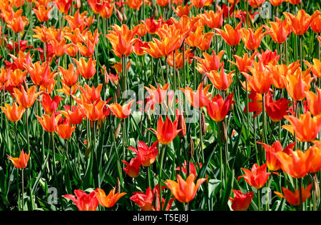 Tulip ballerine fleurs dans jardin, Norfolk, Angleterre Photo Stock