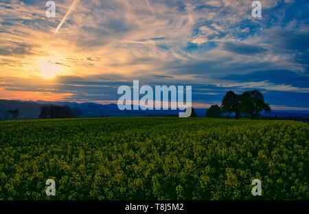 Coucher de soleil sur un champ de colza, Niederrohrdorf, Baden, Argovie, Suisse Photo Stock