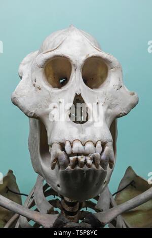 Crâne d'orangs-outans Photo Stock