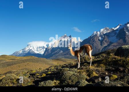 Le guanaco (Lama guanicoe) debout sur la colline avec les montagnes de Torres del Paine en arrière-plan.Patagonie.Chili Photo Stock