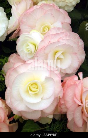 Begonia fleur pétale pot tête pastel tropical exotique plante tubéreuse lampe à effet froissé de rhizomes cultivés en serre chaude Photo Stock