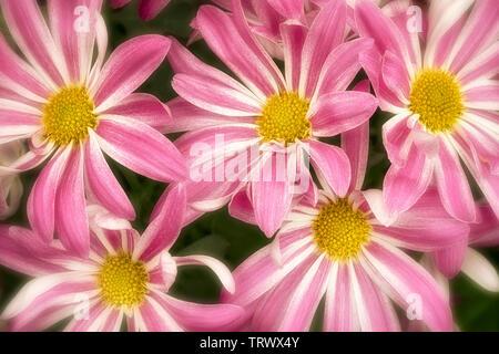 Close up de chrysanthèmes. Oregon Photo Stock