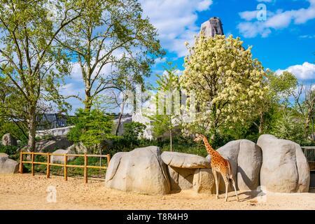 France, Paris, Parc Zoologique de Paris (Zoo de Vincennes), les girafes Photo Stock