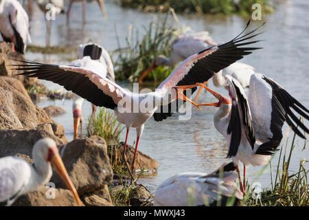 Bec jaune stork (Mycteria ibis) combats, Lake Manyara National Park, la Tanzanie, l'Afrique de l'Est, l'Afrique Photo Stock