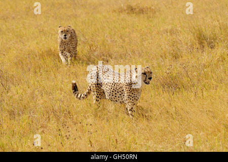 Zoologie / animaux, des Mammifères (Mammalia), masculin deux guépards (Acinonyx jubatus), Ngorongoro Crater, Photo Stock