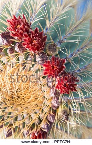 Un cactus en fleur. Photo Stock