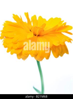 "Studio shot of a yellow Marigold contre un fond blanc. Nom latin ""Calendula officinalis' Photo Stock"