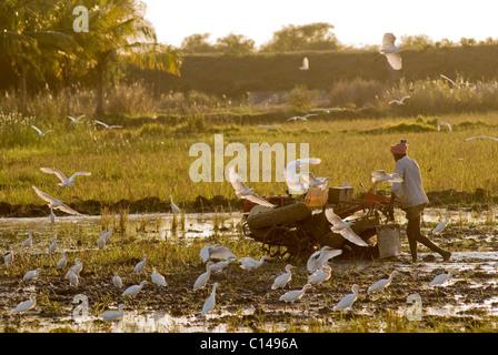 Labourer le champ de riz Photo Stock
