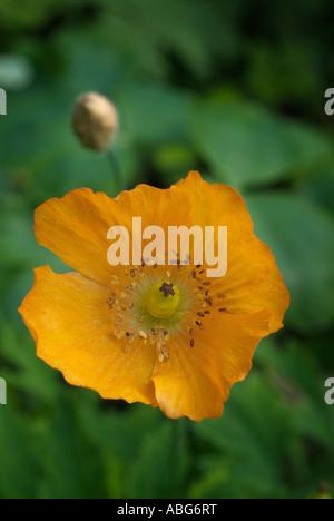 Orange open gallois de pavot fleur papaver papaveraceous seule tête panoramique annuel cultivé cultiver Photo Stock
