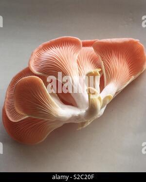 Pleurote en huître Photo Stock