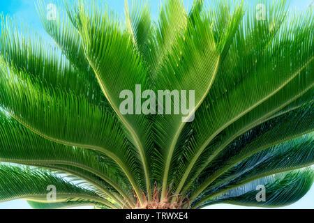 Close up of Sego Palm. Maui, Hawaii. Photo Stock