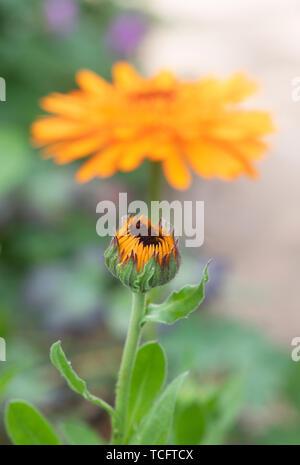 Calendula officinalis. L'ouverture de fleurs de souci Photo Stock