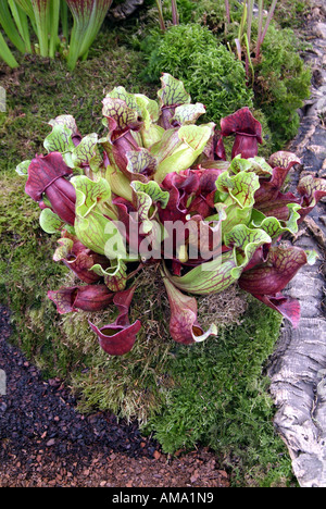 Sarracenia purpurea sarracénie Amérique du americaTropical insectes fleurs manger insectivores carnivores carnivores exotiques Photo Stock