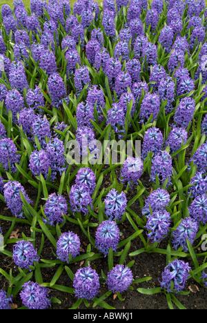 Fleurs feuillage Jacinthe fleur ressort tête lilas pourpre bleu groupe précoce de grande masse close up emblématique pittoresque paysage Photo Stock