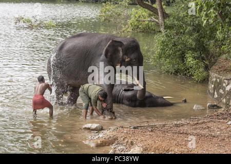 Mahout lave un éléphant à Kerala Forest département de la faune et de centre de réadaptation d'Éléphants Kottoor Kappukadu Photo Stock