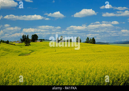 USA, l'État de Washington, le canola, les champs Palousienne Photo Stock