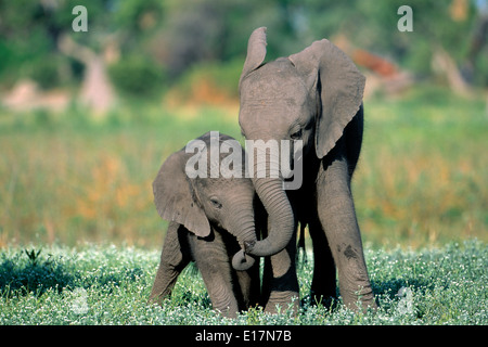L'éléphant africain (Loxodonta africana) Veaux de jouer. Delta Okovango, Botswana Photo Stock