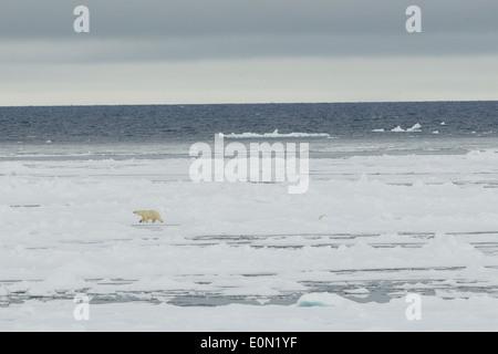 La marche de l'ours polaire sur la glace, Svalbard, Norvège, (Ursus maritimus) Photo Stock